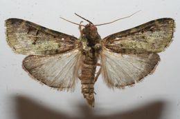 Image of <i>Bibasilaris trisulcata</i> Warren 1891