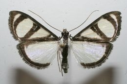 Image of <i>Glyphodes extorris</i> Dognin 1905