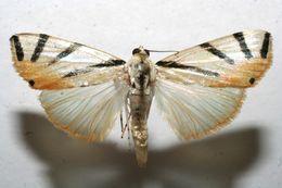 Image of <i>Dichogama prognealis</i>
