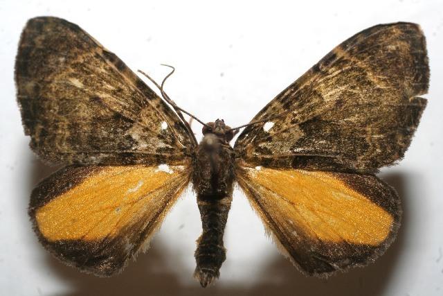 Image of <i>Euphyia crispa</i> Druce 1899
