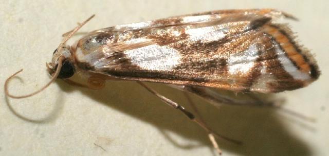 Image of <i>Argyractoides lucianalis</i>