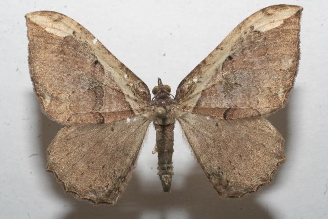 Image of <i>Triphosa gavara</i> Druce 1899