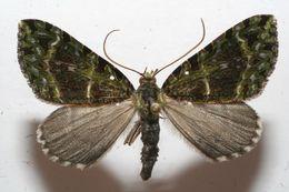 Image of Erebochlora