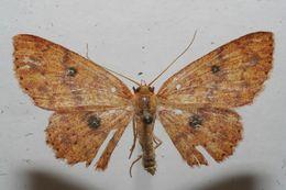 Image of <i>Cyclophora silas</i>