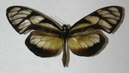 Image of <i>Olyras insignis</i> Salvin 1869