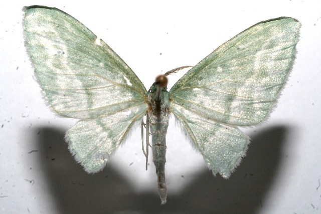 Image of Dyspteris