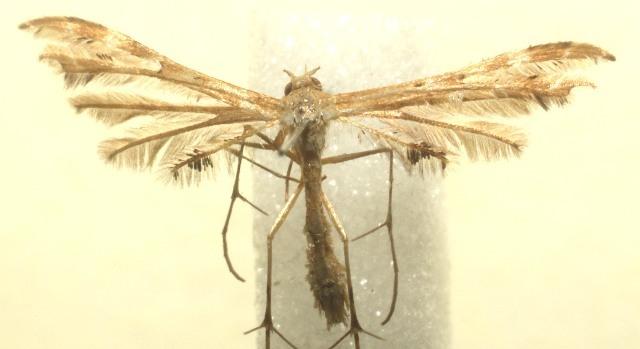 Image of <i>Sphenarches anisodactylus</i> (Walker 1864)
