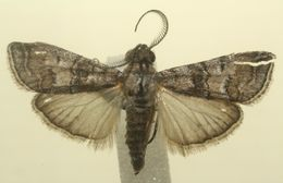 Image of Dasyvesica