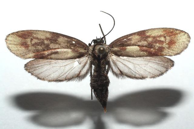 Image of Urodus