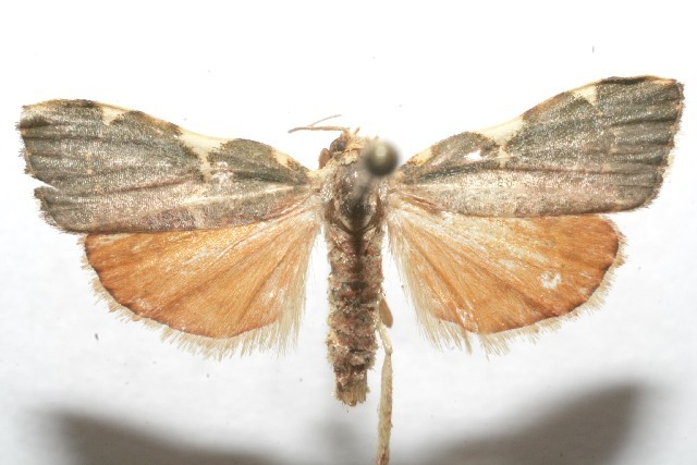 Image of <i>Parachma rufoflavalis</i> Hampson 1906