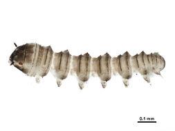 Image of Blepharicerinae