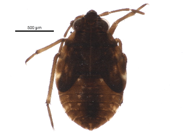 Image of bed bugs