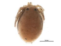 Image of Hydrachnidae