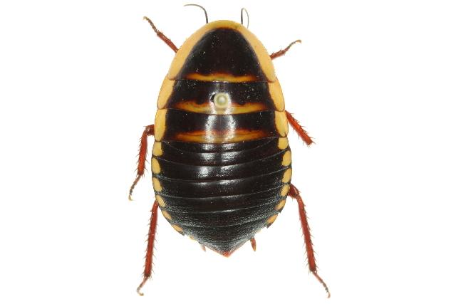 Image of <i>Cosmozosteria bicolor</i> (Saussure 1864)