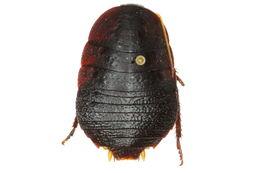 Image of <i>Cosmozosteria musgravei</i> Mackerras 1967