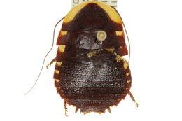 Image of <i>Cosmozosteria slonei</i>