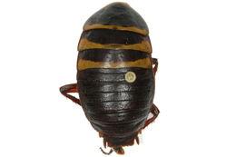 Image of <i>Cosmozosteria trifasciata</i> (Tepper 1893)