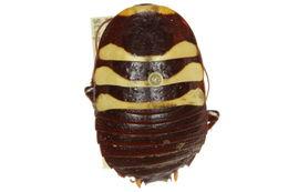 Image of <i>Cosmozosteria zonata</i> (Walker & F. 1868)