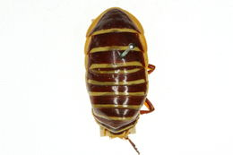 Image of <i>Desmozosteria cincta</i> Shelford 1909