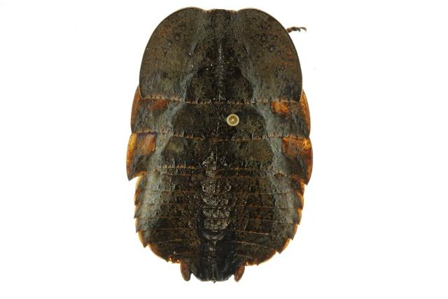 Image of <i>Polyzosteria flavomaculosa</i> Mackerras 1965