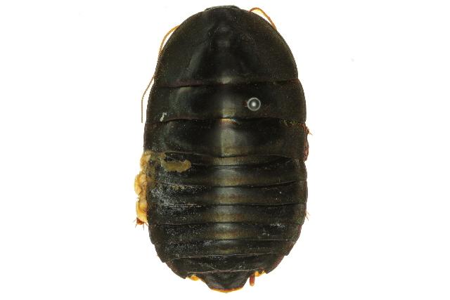 Image of <i>Polyzosteria flugens</i>