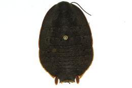 Image of Botany Bay Cockroach