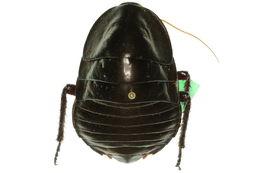 Image of <i>Polyzosteria magna</i> Shaw 1914