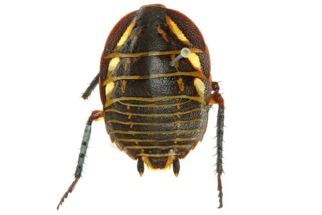 Image of Mardi Gras Cockroach