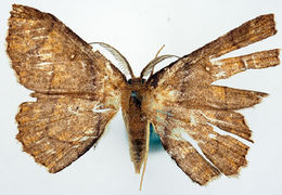Image of <i>Chrysocraspeda cyphosticha</i>