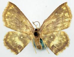 Image of <i>Chrysocraspeda nebulifera</i>