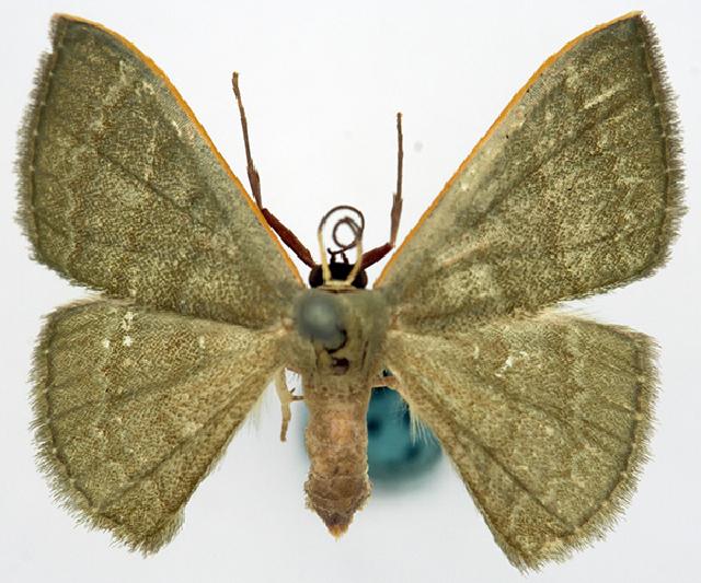 Image of <i>Symmacra ochrea</i> Warren 1897