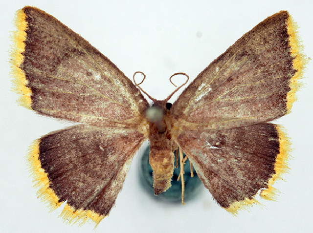 Image of <i>Chrysocraspeda concentrica</i> Warren 1899