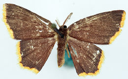 Image of <i>Chrysocraspeda indopurpurea</i> Prout 1916