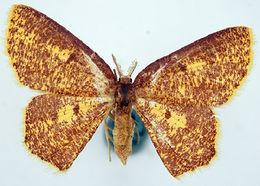 Image of <i>Chrysocraspeda flavimedia</i> Prout 1916