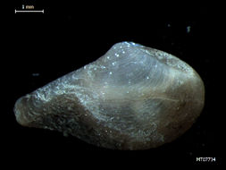 Image of obese dipperclam