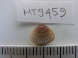 Image of <i>Parvicardium scabrum</i> (Philippi 1844)