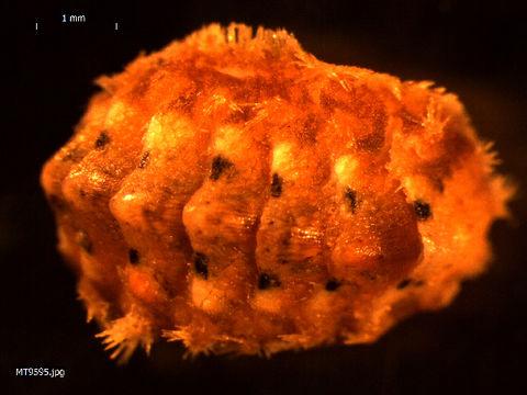 Image of <i>Acanthochitona fascicularis</i> (Linnaeus 1767)
