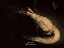 Image of <i>Mesopodopsis slabberi</i> (Van Beneden 1861)