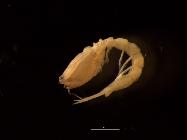 Image of <i>Bodotria scorpioides</i> (Montagu 1804)