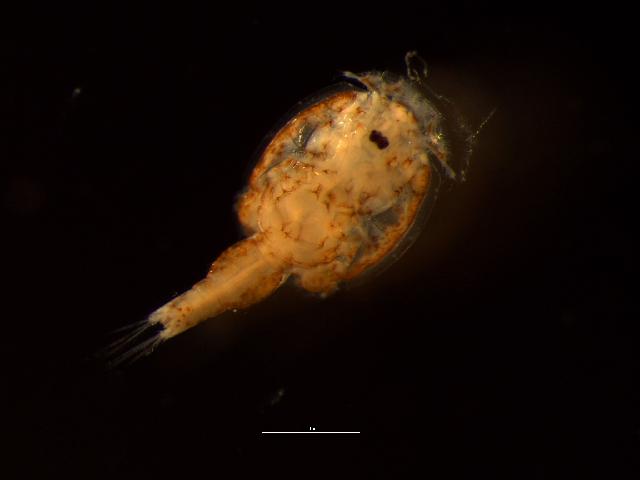 Image of salmon sealouse