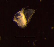 Image of <i>Evadne spinifera</i> P. E. Müller 1867