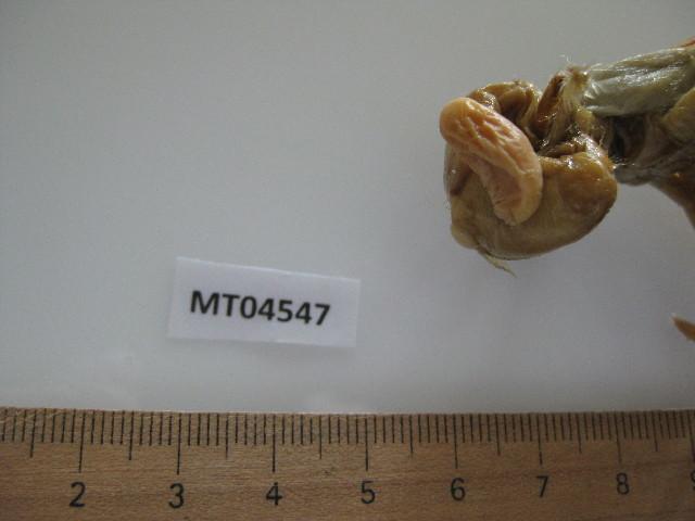 Image of <i>Clistosaccus paguri</i> Lilljeborg 1861