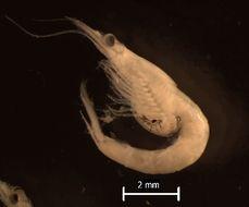 Image of <i>Neomysis americana</i> (S. I. Smith 1873)