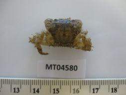 Image of bristly crab