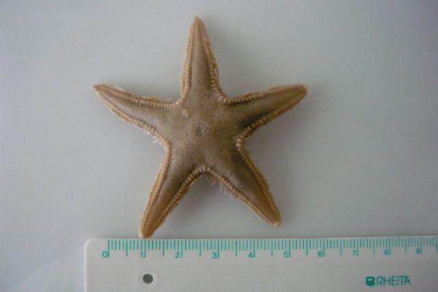 Image of Sand star