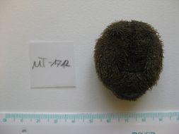 Image of heart urchin