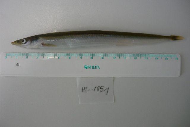 Image of Raitt's sand eel