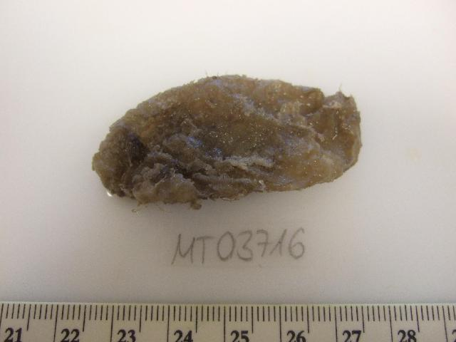 Image of Ascidiella Roule 1884