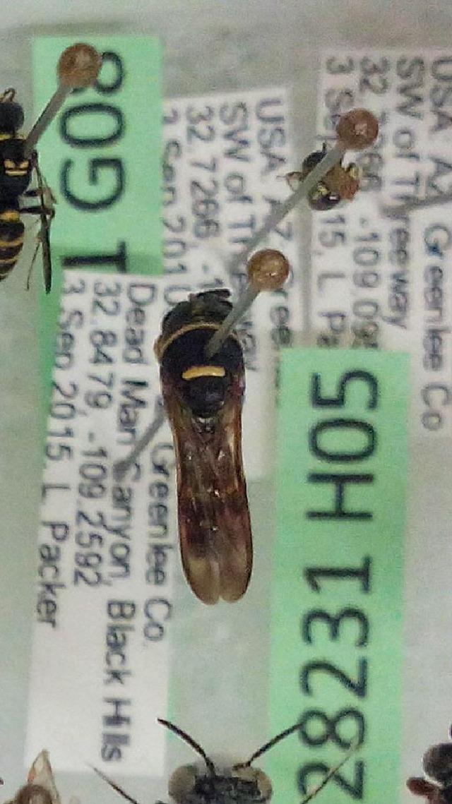 Image of leucospid wasps
