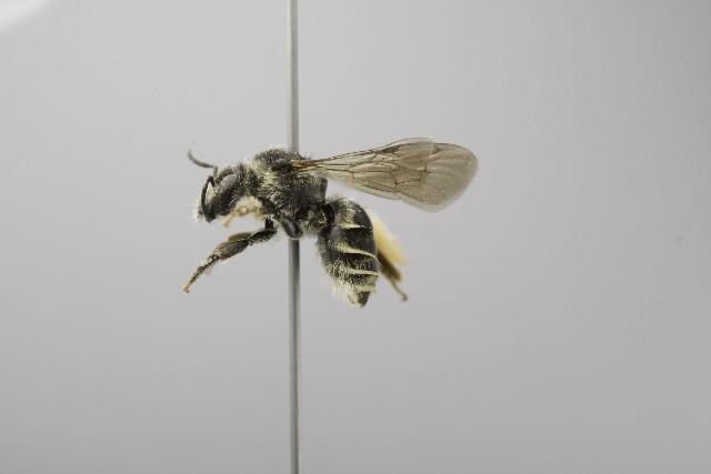 Image of Exomalopsis